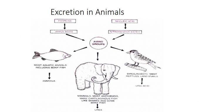 EXCRETION IN ANIMALS