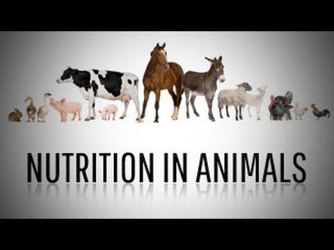 NUTRITION IN ANIMALS