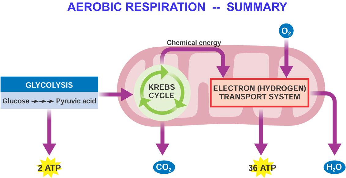 Aerobic respiration yaaka digital network attachments5 ccuart Images