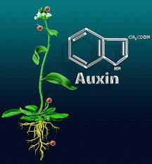auxin