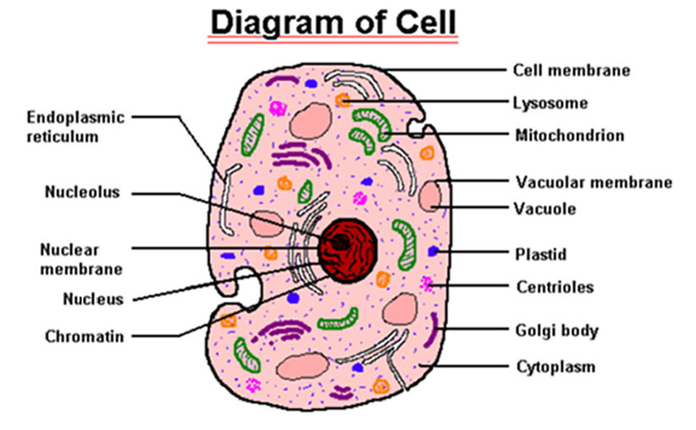 Animal and plant cells yaaka digital learning network attachments5 ccuart Image collections