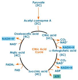 citric acid theory