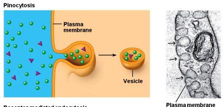 pinocytosis