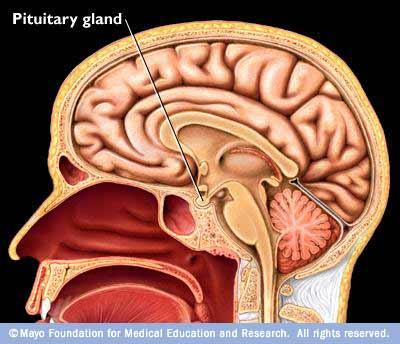 pituitary-gland_1