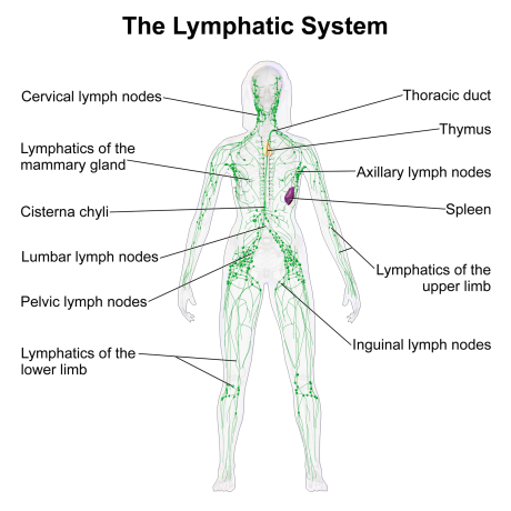 the lymhantic system