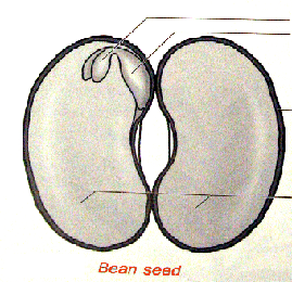 Internal Parts of a been seed