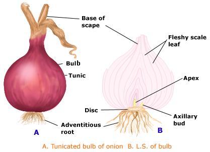 onion-bulb