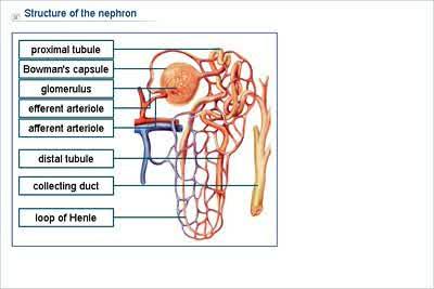 nephrone