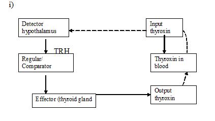 thyroxin