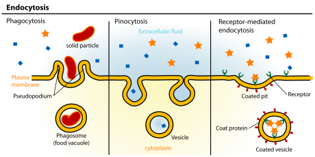 endocytisis
