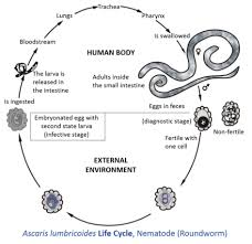 lifecycle of helminths