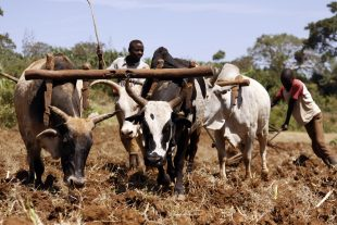 AGRIC6: Management of Work Animals 2
