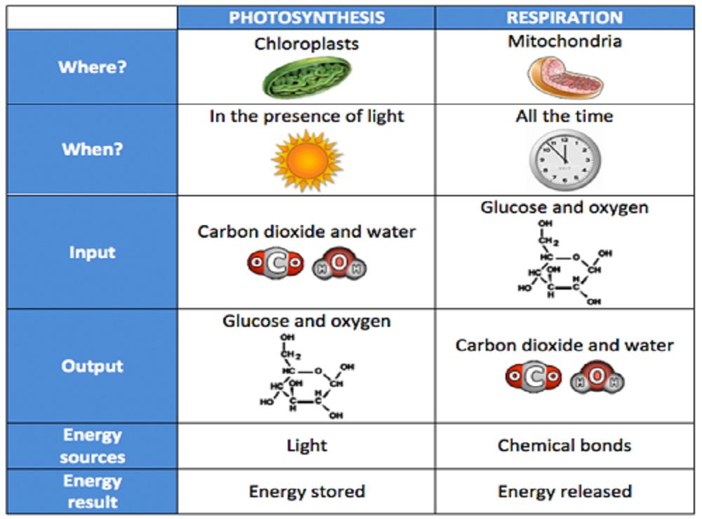 Autotrophic Nutrition Part Ii Photosynthesis Comparison Yaaka Digital Network
